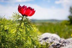 Красный цветок пиона горы Стоковая Фотография RF