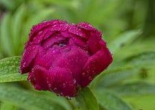 Красный цветок пиона Стоковое Фото