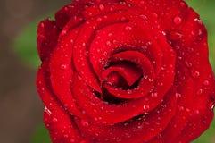 Красный цветок поднял стоковое изображение rf