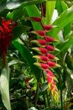Красный цветок полей от Колумбии стоковые фото