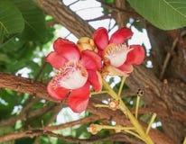Красный цветок пушечного ядра Стоковая Фотография