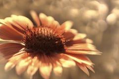 Красный цветок сада на бело-коричневом запачканном bokeh предпосылки Конец-вверх вектор детального чертежа предпосылки флористиче Стоковое фото RF