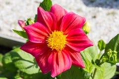 Красный цветок с большими лепестками в крупном плане сада Стоковое фото RF