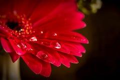 Красный цветок с падениями воды на лепестках Стоковые Изображения