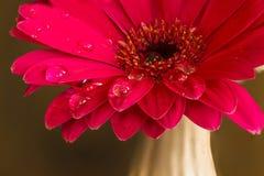 Красный цветок с падениями воды на лепестках Стоковые Изображения RF