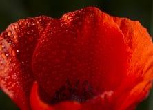 Красный цветок с падениями дождя Стоковое Изображение RF