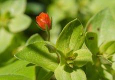 Красный цветок с падениями росы Стоковая Фотография