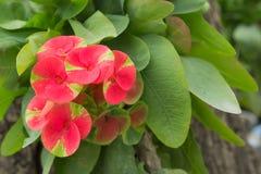 Красный цветок терния Христоса Стоковые Фото