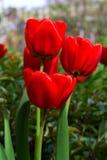 Красный цветок тюльпана на зеленой предпосылке Стоковое фото RF