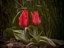 Красный цветок тюльпанов Стоковое Фото