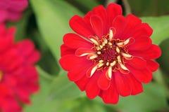 Красный цветок хризантемы Стоковые Фотографии RF