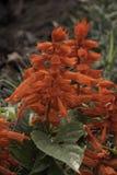 Красный цветок цветения Стоковые Изображения RF