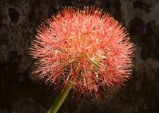 Красный цветок шарика стоковое фото