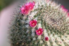 Красный цветок шиповатой груши Стоковое фото RF