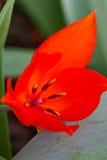 Красный цветок Стоковое Фото