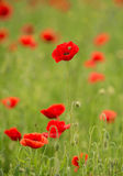 Красный цветок Стоковые Изображения