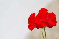Красный цветок. Стоковое Изображение RF