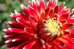 Красный цветок akita георгина Стоковое Фото