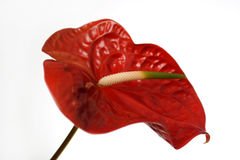 Красный цветок Athurium Стоковые Фото