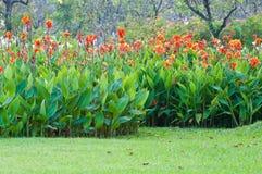 Красный цветок canna Стоковые Фото