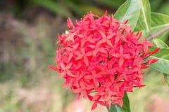 Красный цветок, coccinea Ixora Стоковое Изображение
