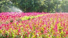 Красный цветок cockscombs сток-видео
