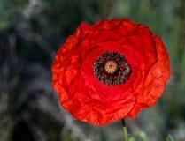 Красный цветок Coronaria ветреницы Стоковые Фотографии RF