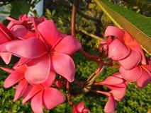 Красный цветок frangipani с зеленым цветом выходит в жилищный комплекс Sidoarjo Pondok Candra, Индонезию стоковое фото rf