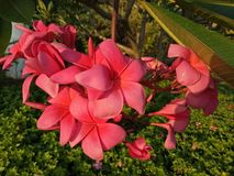 Красный цветок frangipani с зеленым цветом выходит в жилищный комплекс Sidoarjo Pondok Candra, Индонезию Стоковое Фото
