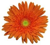 Красный цветок gerbera, белизна изолировал предпосылку с путем клиппирования closeup Отсутствие теней Для конструкции Стоковые Фотографии RF