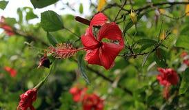 Красный цветок hibiscus стоковые фото