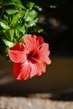 Красный цветок hibiscus Стоковые Изображения