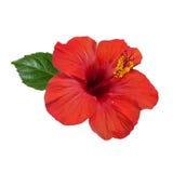 Красный цветок hibiscus Стоковые Изображения RF