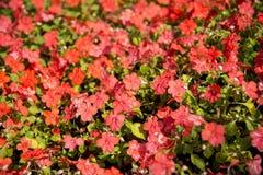Красный цветок Ixora в garden2 Стоковые Изображения RF