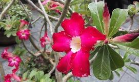 Красный цветок Leelawadee Таиланд Стоковые Изображения RF