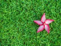 Красный цветок Plumeria с росой на злаковике Стоковые Изображения