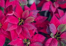 Красный цветок Poinsettia, молочай Pulcherrima, сад Nochebuena стоковые фото