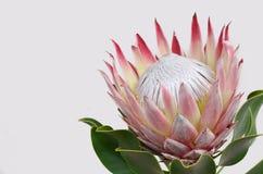 Красный цветок protea для предпосылки стоковая фотография rf