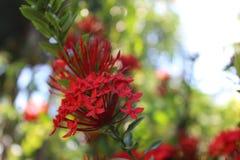 Красный цветок Santan Стоковое фото RF