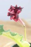 Красный цветок streptocarpus Стоковое фото RF