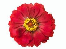 Красный цветок Terry изолированный на белой предпосылке Стоковые Изображения