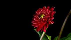 Красный цветок Timelapse георгина сток-видео