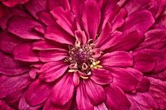 Красный цветок zinnia Стоковая Фотография