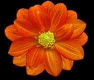 Красный цветочный сад, черная предпосылка с путем клиппирования closeup Стоковые Изображения RF