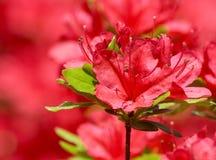 красный цвет азалии Стоковые Изображения RF