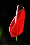 красный цвет антуриума Стоковые Изображения RF