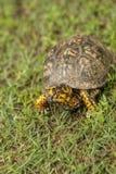 Красный цвет Алабамы наблюдал мужская черепаха коробки 2 - Terrapene Каролина стоковые изображения rf