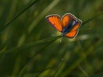 красный цвет бабочки стоковая фотография rf