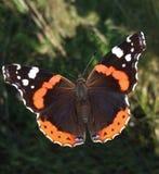 красный цвет бабочки admiral Стоковая Фотография RF