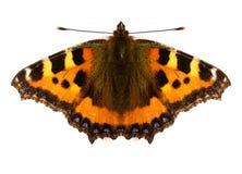 красный цвет бабочки admiral Стоковые Фотографии RF